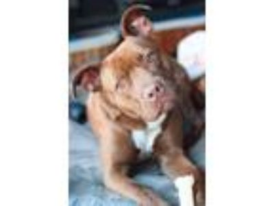 Adopt Ken a Brown/Chocolate - with White American Pit Bull Terrier / Labrador