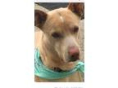 Adopt Cody a Tan/Yellow/Fawn - with White Labrador Retriever / Jindo / Mixed dog