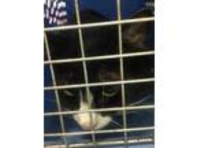 Adopt MIssy a All Black Domestic Mediumhair / Domestic Shorthair / Mixed cat in