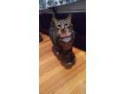 Adopt Rosie a Tiger Striped Bengal (short coat) cat in Covina, CA (25063543)