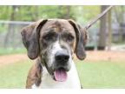 Adopt Scooby a Great Dane