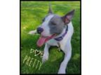 Adopt Pretty - FOSTER HOME a White American Pit Bull Terrier / Mixed dog in