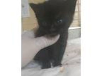 Adopt Alfie a Domestic Shorthair / Mixed cat in Madison, NJ (25736332)
