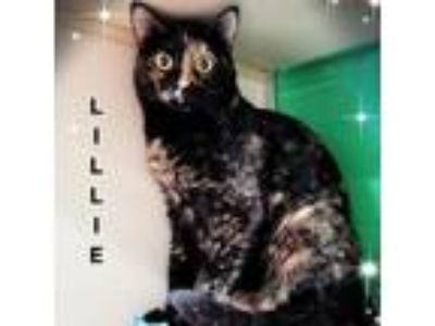 Adopt Lillie a Brown or Chocolate Domestic Shorthair cat in League City