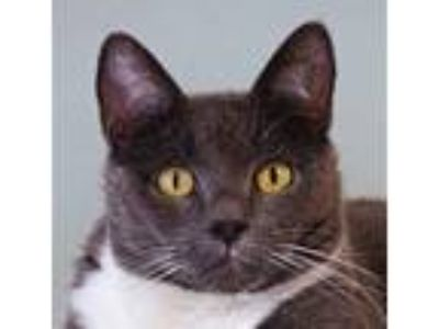 Adopt Naomi a Gray or Blue (Mostly) Domestic Shorthair / Mixed (short coat) cat