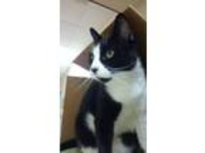Adopt Albert a Domestic Short Hair