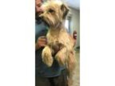 Adopt Henry a Tan/Yellow/Fawn Wheaten Terrier / Mixed dog in Cleveland