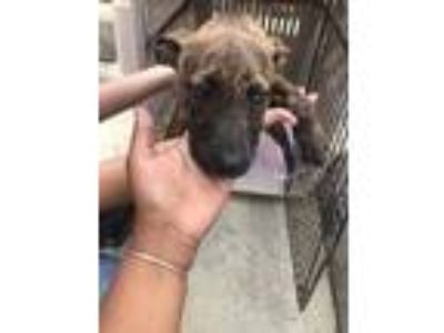Adopt Tulip a Brindle Terrier (Unknown Type, Small) / Mixed dog in St.