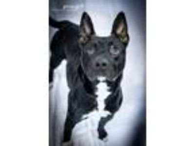 Adopt Spike a Australian Cattle Dog / Blue Heeler
