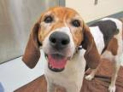 Adopt LADY BELL a Tricolor (Tan/Brown & Black & White) Treeing Walker Coonhound