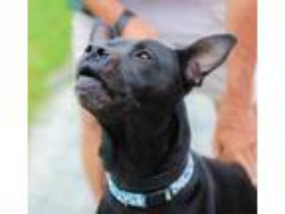 Adopt Sabbath a Black American Pit Bull Terrier / Mixed dog in Cumberland