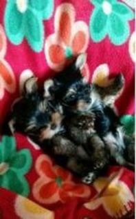 fcvnvbnFULLY registered males and females Yorkie babies/puppies