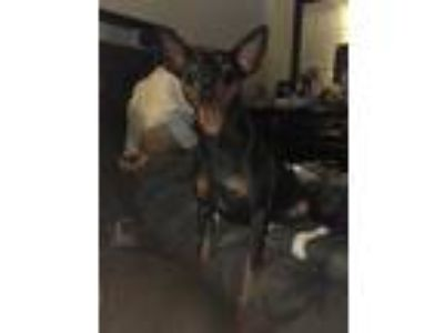 Adopt Simba a Brown/Chocolate - with Black Miniature Pinscher dog in Rochester