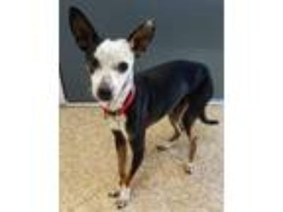 Adopt Merlin a Gray/Silver/Salt & Pepper - with Black Italian Greyhound /