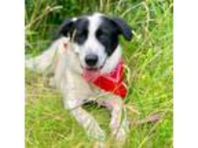 Adopt Buck a Great Pyrenees, Hound