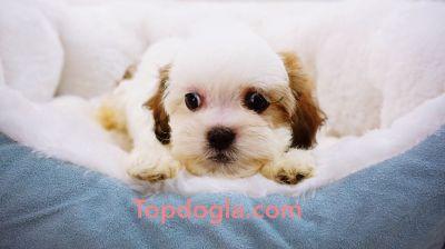 Malshi Puppy - Male - Milan ($1,299)
