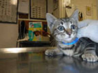 Adopt *CLIFFORD a Brown Tabby Domestic Shorthair / Mixed (short coat) cat in