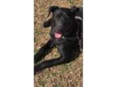 Adopt Joker a Brown/Chocolate - with Black Labrador Retriever / Pointer / Mixed