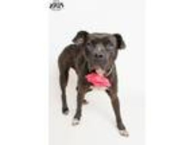 Adopt Joelle - Pet of the Week - updated 5/24 a Boxer, Labrador Retriever