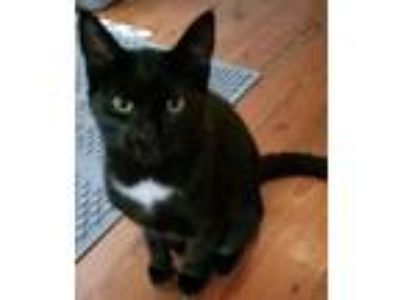 Adopt Martin a Domestic Short Hair