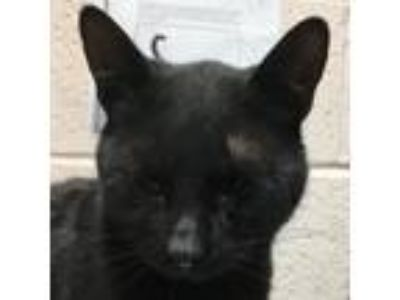 Adopt 81752 a All Black Domestic Shorthair cat in Las Cruces, NM (25305455)