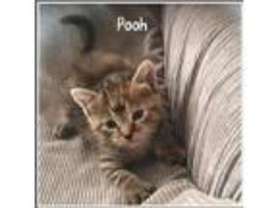 Adopt Pooh a Brown Tabby Domestic Shorthair (short coat) cat in Toms River