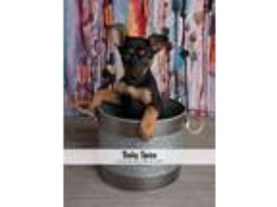 Adopt Baby Spice a Black - with Tan, Yellow or Fawn German Shepherd Dog dog in