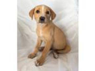 Adopt Sandy a Tan/Yellow/Fawn - with White Labrador Retriever / Mixed dog in