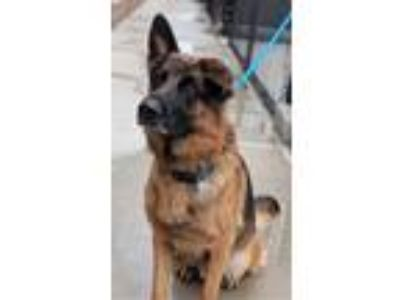 Adopt Dodger a German Shepherd Dog