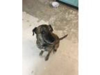 Adopt Ladybug a Brindle Greyhound / American Pit Bull Terrier / Mixed dog in