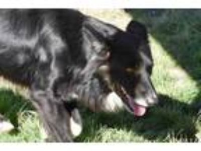 Adopt Brando a Black Border Collie / Mixed dog in Brownwood, TX (23891257)