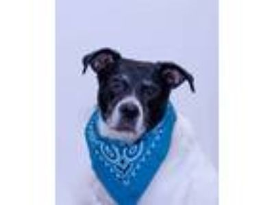 Adopt Riley a Pit Bull Terrier / Terrier (Unknown Type, Medium) / Mixed dog in