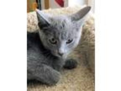 Adopt Emerson a Gray or Blue Domestic Shorthair / Domestic Shorthair / Mixed cat