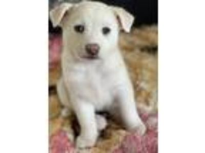 Adopt Kira a White Canaan Dog / Eskimo Dog / Mixed dog in Mt.