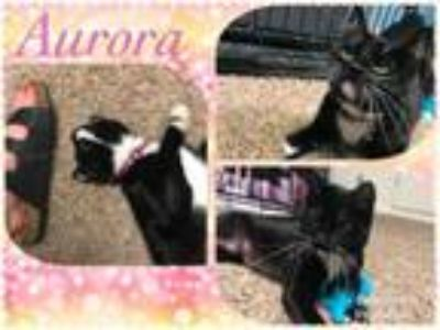 Adopt Aurora a Domestic Short Hair
