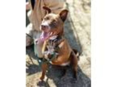 Adopt Ava a Pit Bull Terrier