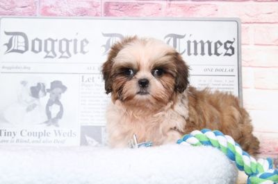Shih Tzu PUPPY FOR SALE ADN-95859 - Juno Very Handsome Male ShihTzu Puppy