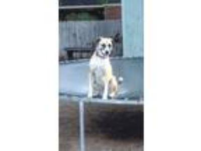 Adopt Ivory a Tan/Yellow/Fawn - with White Husky / Labrador Retriever / Mixed