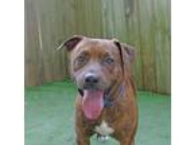 Adopt Bruno a Terrier, Pit Bull Terrier