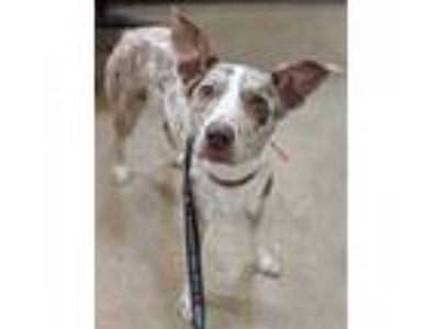 Adopt Paprika a Brown/Chocolate Mixed Breed (Medium) / Mixed dog in New Castle