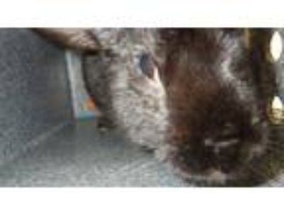 Adopt BEAR a Black Other/Unknown / Mixed rabbit in Fruit Heights, UT (25898383)