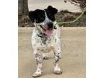 Adopt Sammie a Australian Cattle Dog / Blue Heeler, Terrier