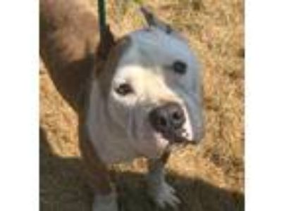 Adopt Ronald a Brown/Chocolate American Pit Bull Terrier / Mixed dog in