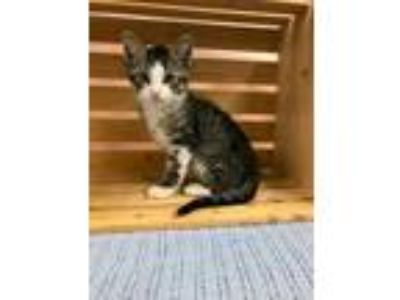 Adopt PUPPY a Brown or Chocolate Domestic Shorthair / Domestic Shorthair / Mixed