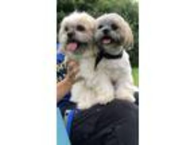Adopt Maureen Rose & Hennessy a Shih Tzu / Pekingese / Mixed dog in Davie