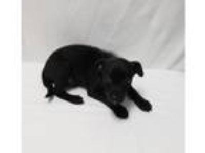 Adopt Kennan a Black Mixed Breed (Small) / Mixed dog in Cranston, RI (25901705)