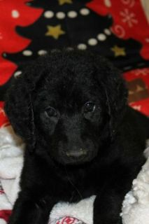 Labradoodle PUPPY FOR SALE ADN-109049 - Labradoodle F1b CKC Reg reduced  Jo