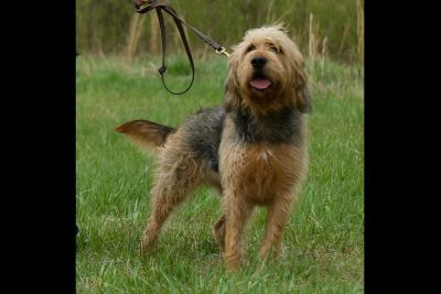 Otterhound Puppies