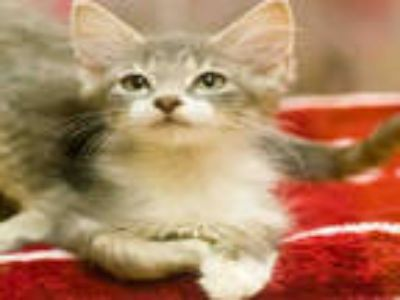 Adopt CHICKEN WING a Gray, Blue or Silver Tabby Domestic Mediumhair / Mixed