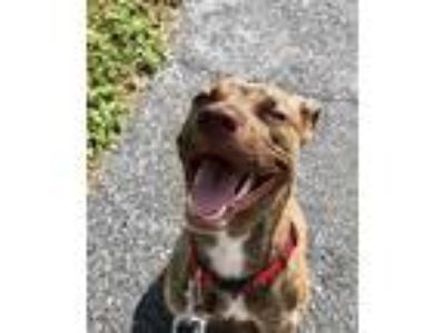 Adopt Scarlett a Brindle American Pit Bull Terrier / Mixed dog in Panama City